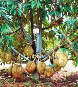 harga bibit durian montong orange