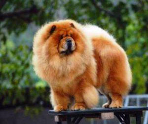 Harga Anjing Chow-Chow