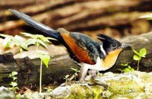 Harga Burung Bubut Pacar Jambul