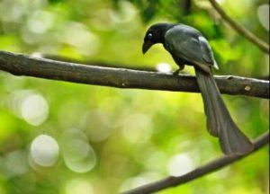Harga Burung Murai Irian Gacor
