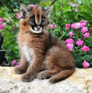 HArga kucing caracal baby