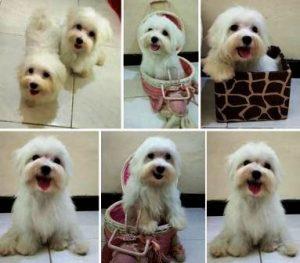 Harga Anjing Maltese