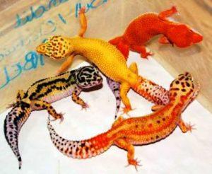 Harga tokek gecko terkini