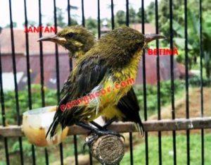 harga Burung Sogok Ontong betina