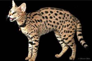 Harga kucing Savannah kecil