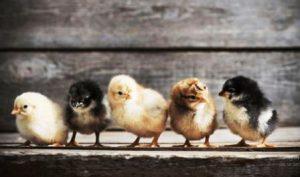 Harga Bibit Ayam Joper