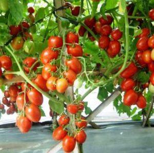 Harga Bibit Tomat
