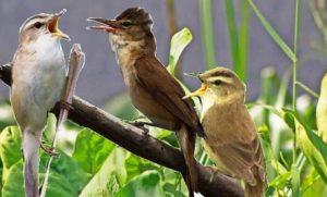 Harga Burung Kerak Basi