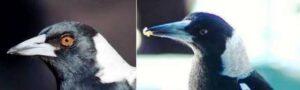 dua jenis burung jagal papua