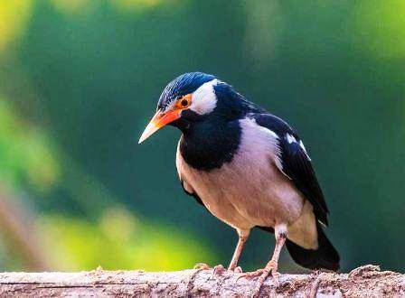 Harga Burung Jalak Suren