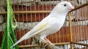 Harga Burung Kenari Loper Putih