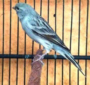 Burung kenari starblue polos