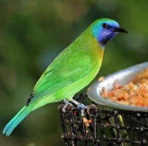 Harga Burung Kinoi