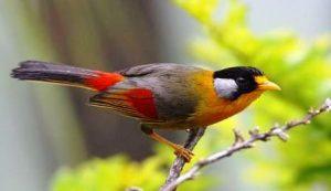 Harga Burung Pancawarna