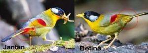 Harga Burung Pancawarna Jantan dan Betina