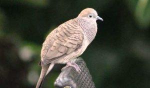 Harga Burung Perkutut Bangkok