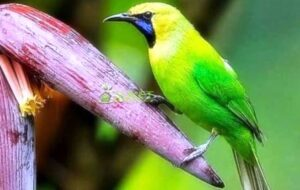 Harga burung cucak Ranting atau kinoi