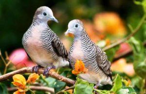 Harga burung perkutut Bangkok Sepasang
