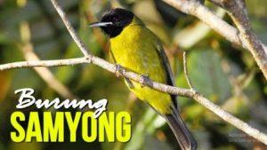 Harga Burung Samyong