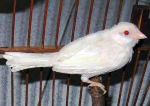 Harga murai batu albino
