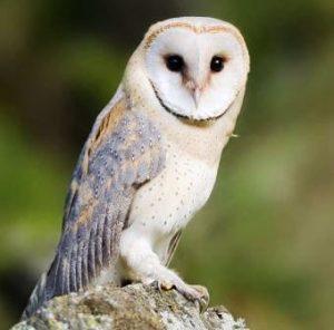 Harga Burung Hantu Tyto Alba