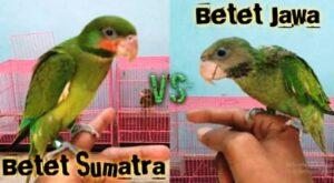 Burung betet jawa dan burung betet sumatra