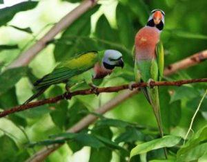 Harga Burung Betet Ekor Panjang