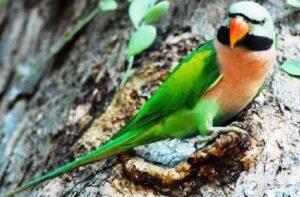 burung betet jawa jantan