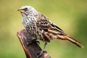 Harga Burung Branjangan