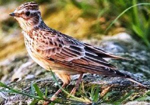 Harga Burung Branjangan Terbaru