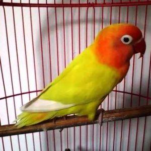 Harga burung lakbet warna kuning