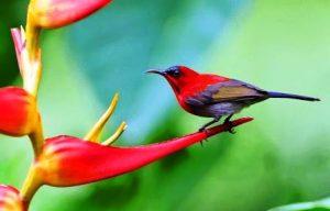 Harga Burung Kolibri sepah raja
