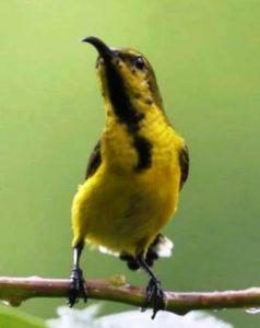 Hrga burung kolibri sriganti