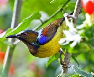 Harga burung kolibri manggar