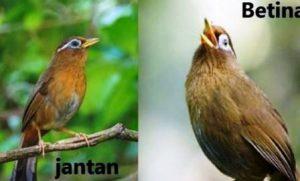 Harga Burung Wambi Gacor