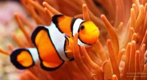 Harga Ikan Nemo Air Tawar
