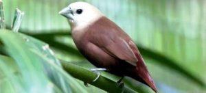 Harga Burung Emprit Kaji