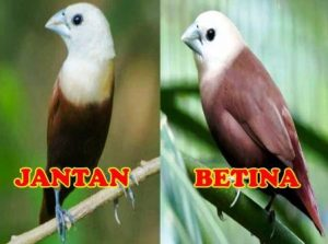 Harga Burung Emprit Kaji Sepasang
