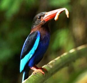 Makanan Burung Cekakak