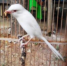 Harga Burung Cendet Albino
