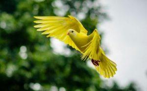 Harga Burung Kepondang Emas