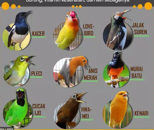 Daftar 61 jenis burung kicau
