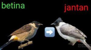 harga burung kutilang jantan dan betina