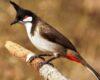 Harga Burung kutilang