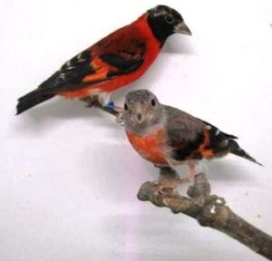 Harga Burung Red siskin Sepasang