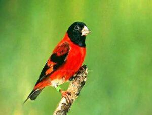 Harga Burung Siskin