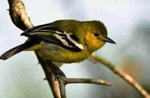 dowload Suara burung cipoh